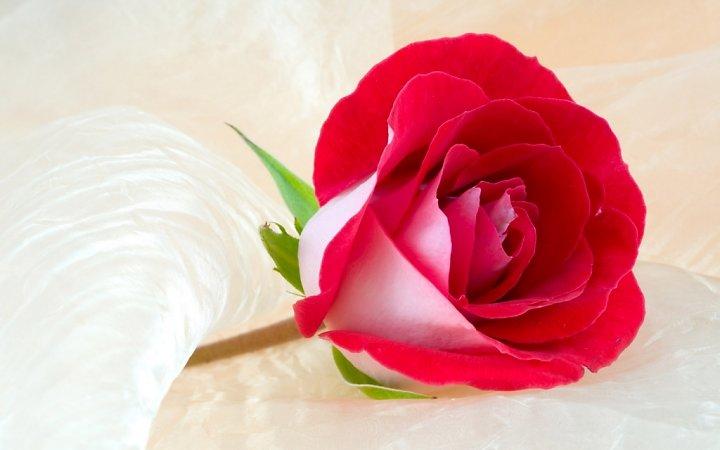 Bông hồng Vu-lan